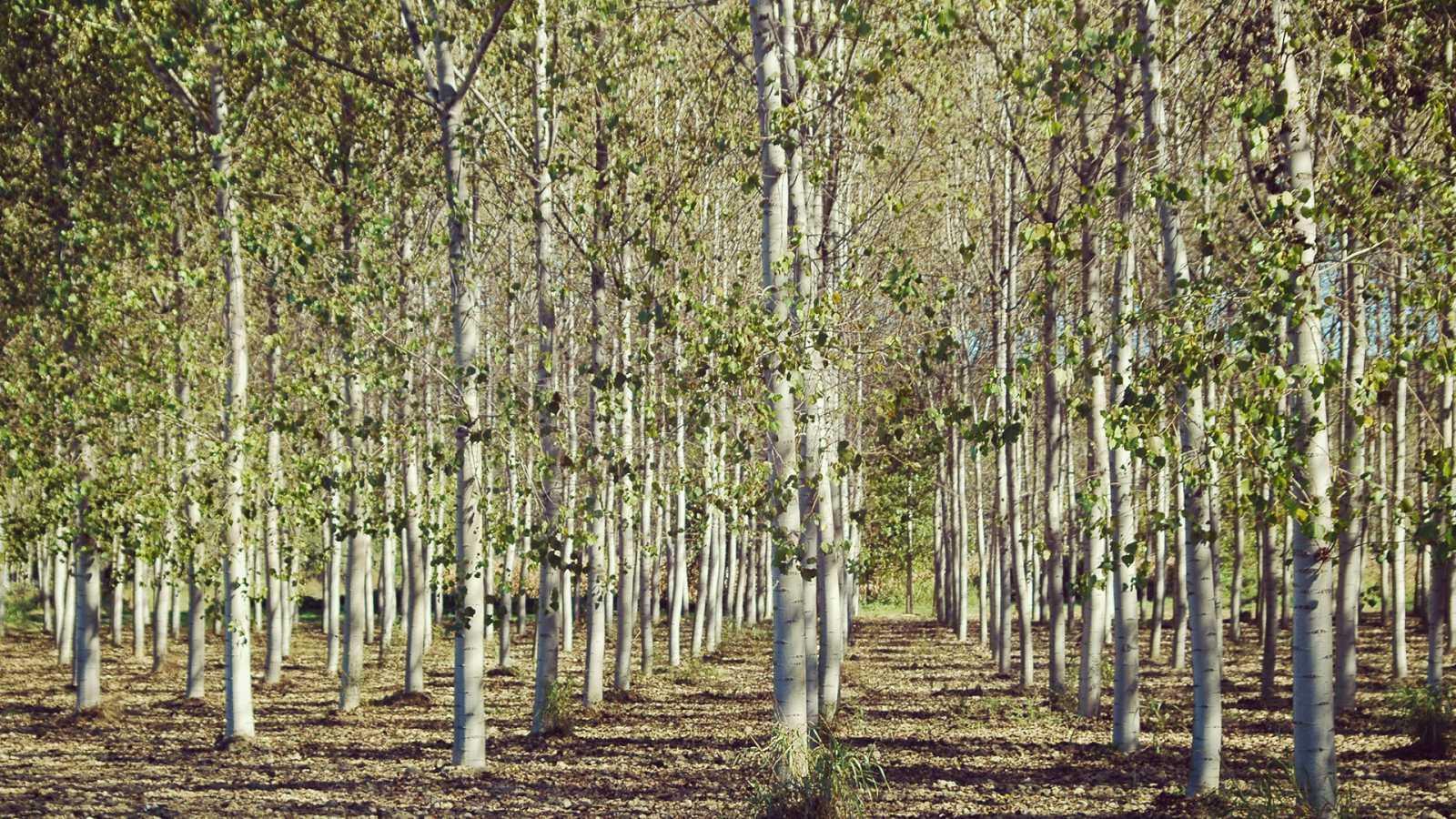 El bosque protector - Choperas - ver ahora