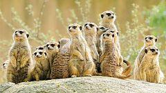 Grandes documentales - Los suricatos 3D