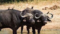 Grandes documentales - La fortaleza del búfalo