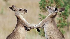 Grandes documentales - La vida secreta de los canguros: La vida de un macho