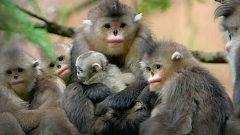 Grandes documentales - Los misteriosos monos de Shangri-La