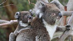 Grandes documentales - La vida secreta de los koalas: El país de los koalas