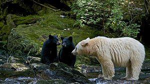 Mundo natural: El oso espíritu
