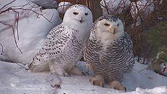 Grandes documentales - Cuento de invierno. El viaje de los búhos nivales