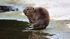 Grandes documentales - Guerreros del agua: Vuelven los castores