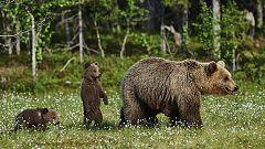 Grandes documentales - Una hermandad de osos: En los bosques de Escandinavia. 1ª parte