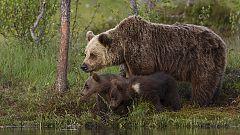 Grandes documentales - Una hermandad de osos: En los bosques de Escandinavia (2ª parte)