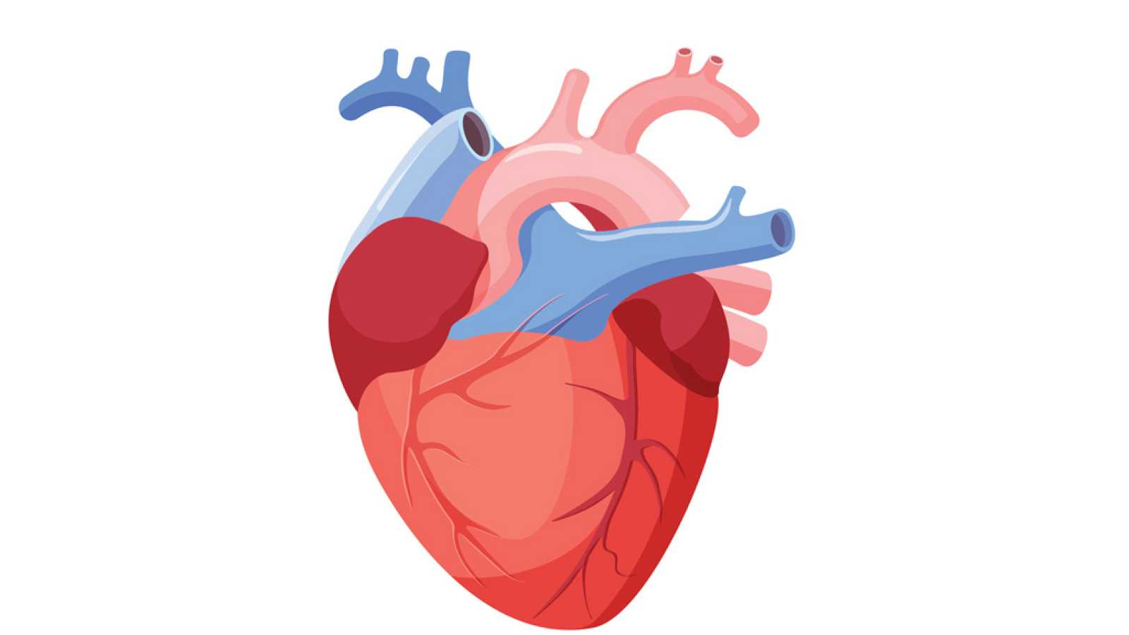 de que lado esta el corazon linear unit el espécimen humano