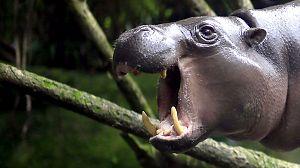 Mundo Natural: Operación hipopótamo pigmeo