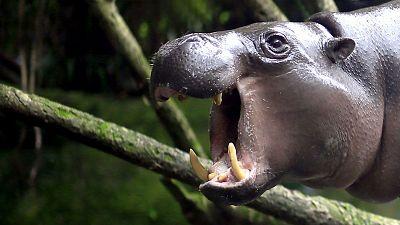 Grandes documentales - Mundo Natural: Operación hipopótamo pigmeo - ver ahora