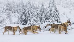Grandes documentales - La familia de lobos árticos y yo. Episodio 1