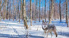 Grandes documentales - La familia de lobos árticos y yo: Capítulo 2