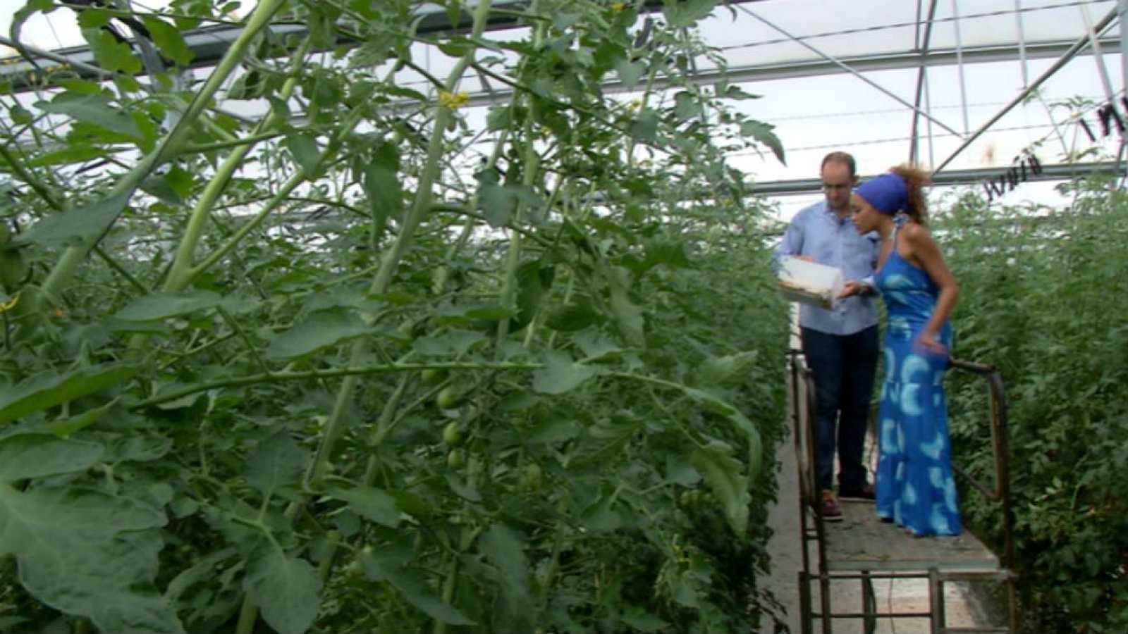 Cómo Cultivar Tomates Durante Todo El Año