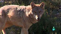 La Aventura del Saber. El Centro del Lobo Ibérico