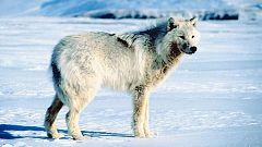 Grandes documentales - Loba blanca: La loba blanca de la manada de Hayden