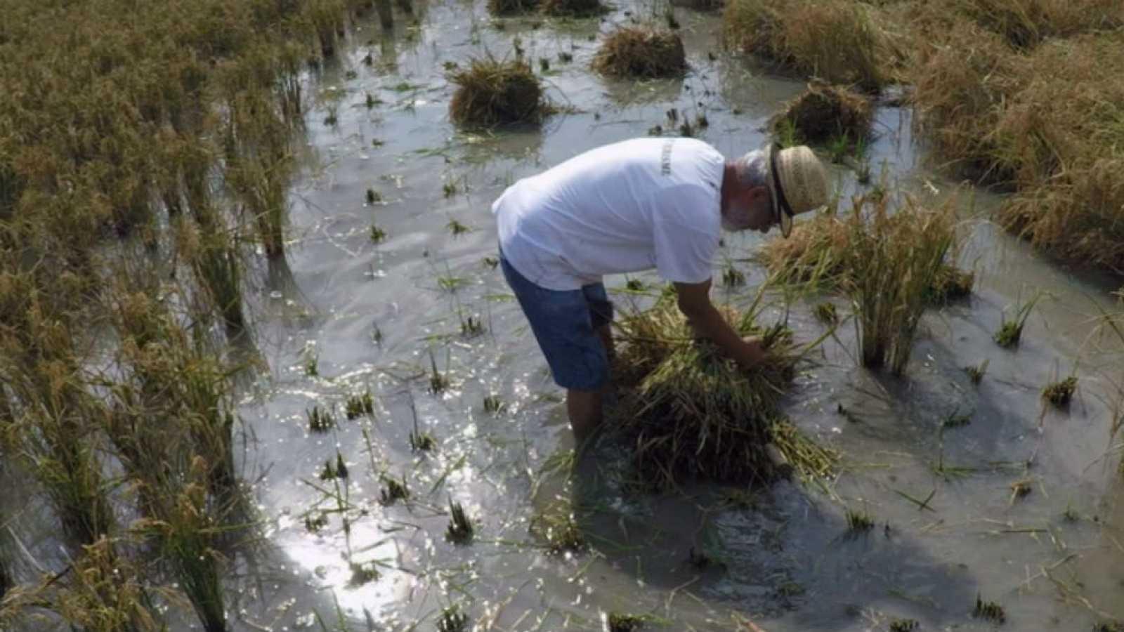 La recolección de arroz más auténtica