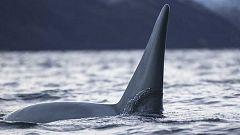 Grandes documentales - La guerra de las ballenas: las orcas atacan