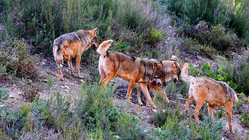 El hombre y la Tierra (Fauna ibérica) - El lobo - ver ahora
