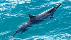 Grandes documentales - Delfines. Un espía en la manada - Episodio 2