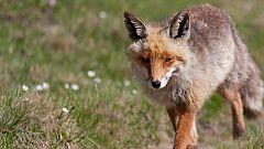 Grandes documentales - El clan de los zorros