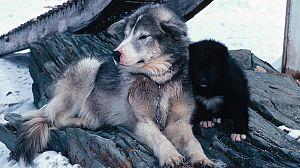 Los perros del Ártico