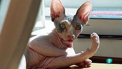 La meva mascota i jo - Homie, un gat sfinx