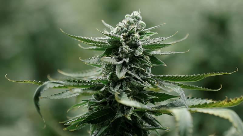 El Parlamento portugués legaliza el uso del cannabis para fines terapéuticos
