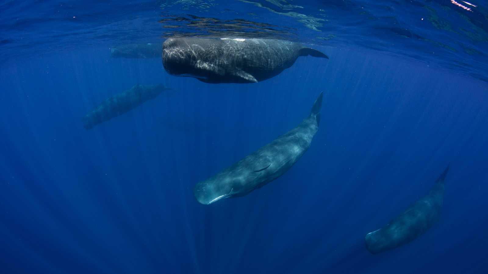 Delfines, rorcuales y cachalotes, algunos de los cetáceos que habitan en el Mediterráneo, contarán con un área marítima protegida de 46.000 kilómetros cuadrados entre Levante, Cataluña y las Isla Baleares, en el que estarán a salvo de ruidos marinos