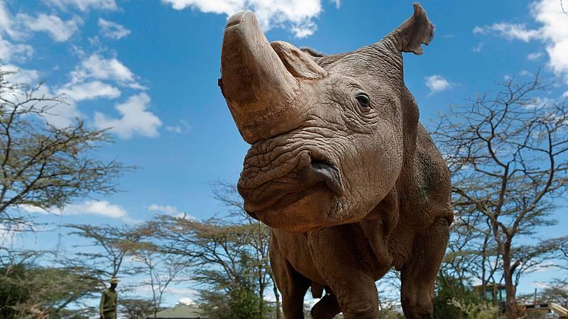 Crean los primeros embriones in vitro para recuperar al rinoceronte blanco del norte