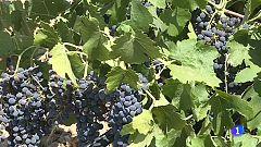 España producirá este año en torno a los 43 millones de hectólitros de vino