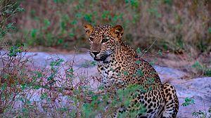 Leopardos al acecho en la oscuridad