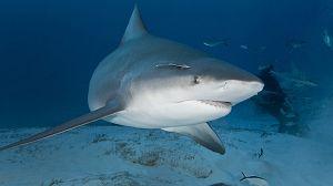El tiburón toro