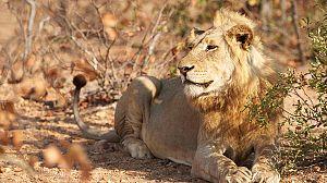 Timbavati: El rey de la manada