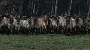 Los últimos caballos salvajes de Europa