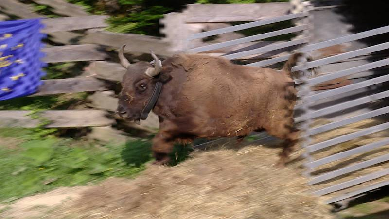 El escarabajo verde - Los bisontes de rumanía - Avance