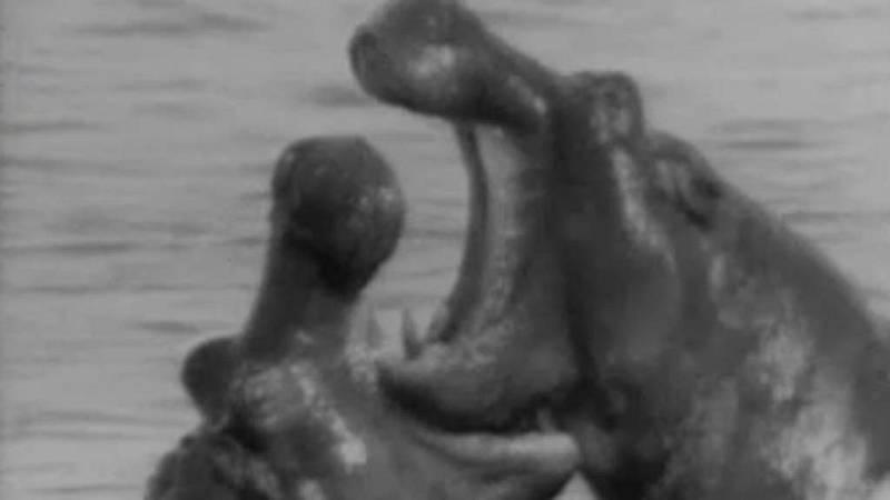El planeta azul - El mundo del hipopótamo (I)