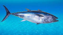 Desmantelan una red que vendía atún rojo capturado ilegalmente