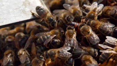 La meva mascota i jo - El món de les abelles