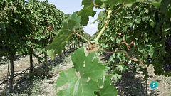 Amb Identitat - El vi, un producte amb molta tradició