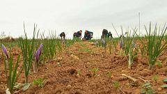 Aquí la tierra - Madrugamos para coger azafrán
