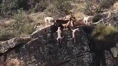 Críticas en las redes por una cacería que acabó con 12 perros y un venado despeñados