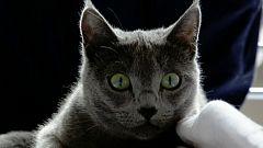 El secreto de los gatos está en su lengua