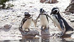 Grandes documentales - Las islas más salvajes: Las Malvinas, el paraíso de los pingüinos