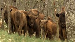 Jara y sedal - Bisonte europeo. Una historia de esperanza