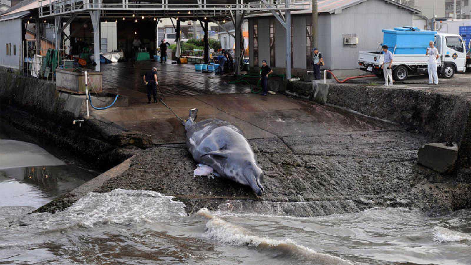 Japón ha anunciado este miércoles que ha decidido retirarse de la Comisión Ballenera Internacional (CBI), un organismo creado hace siete décadas para garantizar la preservación de esos cetáceos y evitar su caza indiscriminada, y ha comunicado que rea