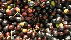Aquí la tierra - El aceite de acebuche del Veneno