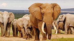 Grandes documentales - Elefantes fugitivos