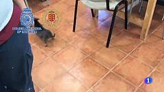 12 Chihuahuas rescatados de un criadero ilegal en Meco, Madrid