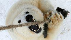 Osos polares invaden un pueblo ruso presionados por el deshielo