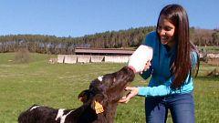 Aquí la tierra - Vacas felices en Cantabria